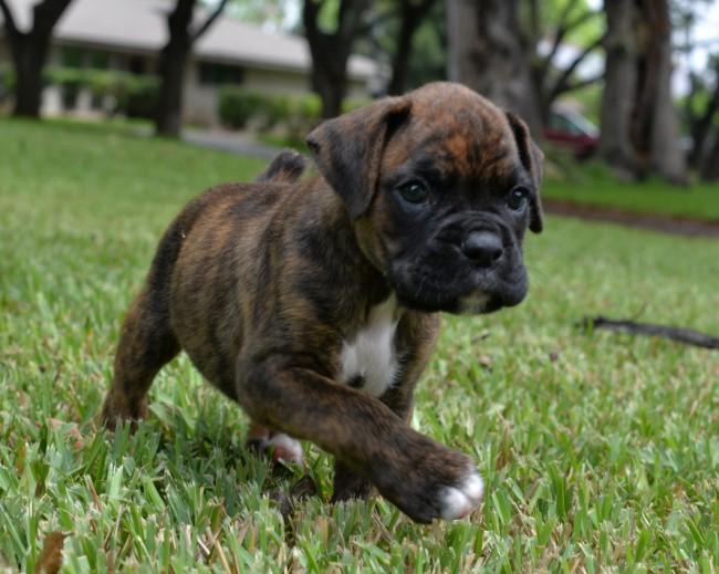Duke | Bluecollar Boxers