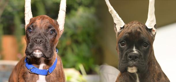 Duke & Pixie | Bluecollar Boxers
